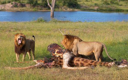 carcass: Twee mannelijke leeuwen (panthera leo) eten op de giraffe karkas in de savanne in Zuid-Afrika