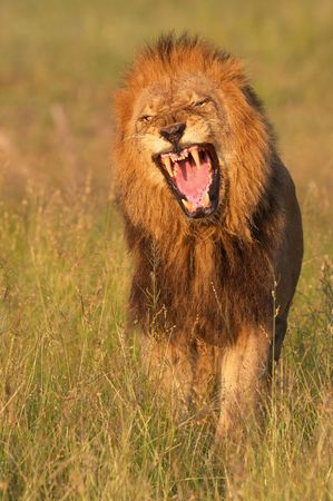 Lion (panthera leo) looking very angry in savannah in South Africa  photo