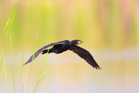 Reed Cormorant (Phalacrocorax africanus) flying  over the water in South Africa photo