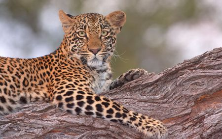 panthera pardus: Leopard (Panthera pardus) lying on the tree in nature reserve in South Africa. Shot in the evening Stock Photo
