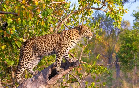 Leopard (Panthera pardus) standing alert on the tree in nature reserve in South Africa photo