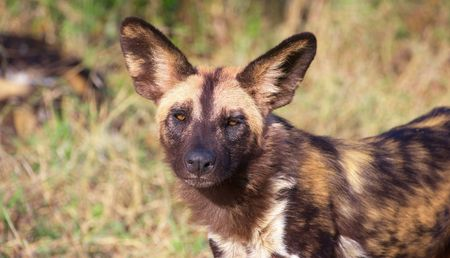 lycaon pictus: African Wild Dog (Lycaon pictus), highly endangered species of Africa, in savannah Stock Photo