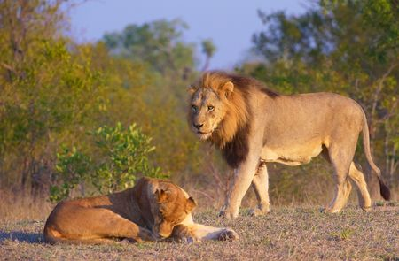 Lion (panthera leo) and lioness in bushveld, South Africa. Focus is on the lion  photo