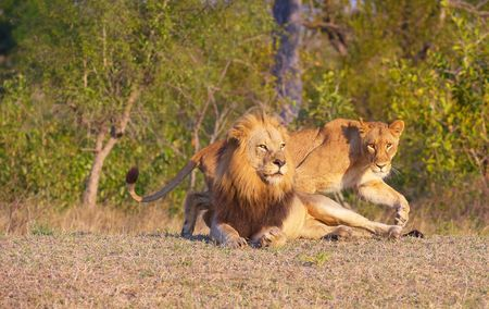 Lion (panthera leo) and lioness in bushveld, South Africa  photo