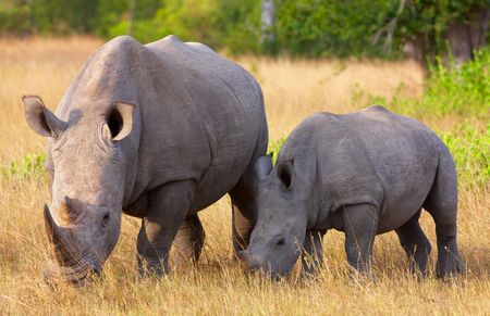 Large white (square-lipped) rhinoceros (Ceratotherium simum) with calf eating in the nature reserve in South Africa photo