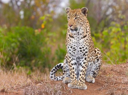 Leopard (Panthera pardus) sitting in savannah in nature reserve in South Africa 스톡 콘텐츠