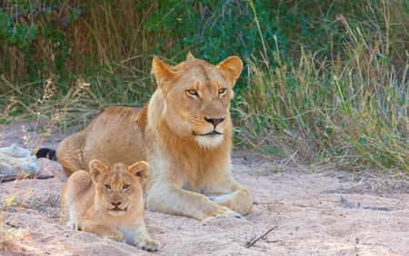 lion cub: Lion (panthera leo) cub lying next to his family in savannah in South Africa