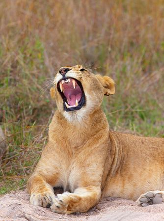 vicious: Vicious Lioness (panthera leo) lying in savannah in South Africa
