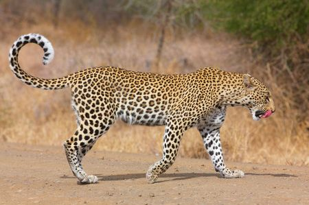 panthera pardus: Leopard (Panthera pardus) walking on the road after a meal in nature reserve in South Africa