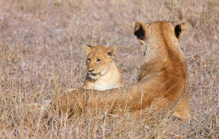 Lion (panthera leo) cub with his mother sitting in savannah in South Africa