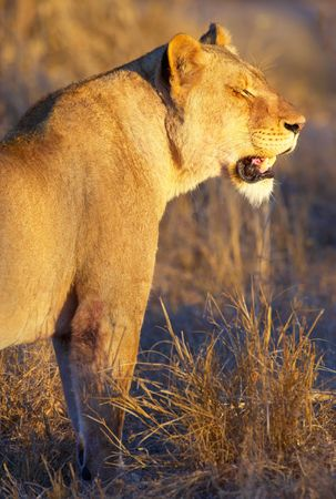 Lioness (panthera leo) standing in savannah in South Africa at sunset  photo