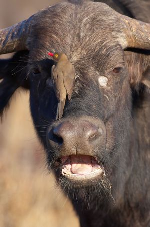 oxpecker: Buffalo (Syncerus caffer) close-up with Red-billed Oxpecker (Buphagus erythrorhynchus) in the wild in South Africa