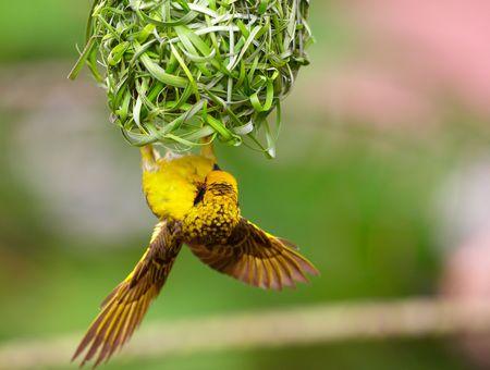 村 (紅斑バックアップ) の織工 (Ploceus cucullatus) 南アフリカ共和国で逆さま彼の巣に座っています。