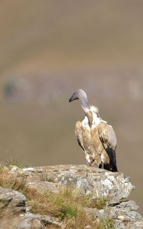 The Cape Griffon or Cape Vulture (Gyps coprotheres) sitting on the rock in South Africa. It is an Old World vulture in the Accipitridae family photo