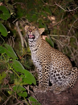 Leopard (Panthera pardus) sitting alert on the tree in nature reserve in South Africa photo