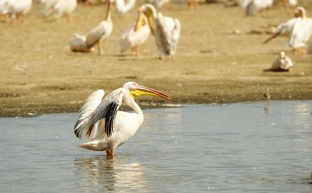 Eastern White Pelican (Pelecanus onocrotalus) or Great White Pelicans in the water pools in South Africa photo