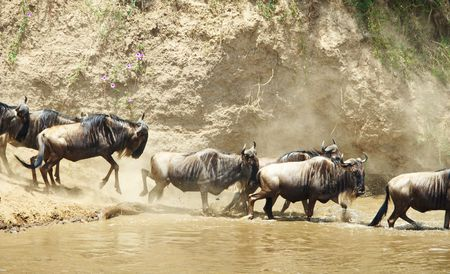 taurinus: Herd of Blue Wildebeest (Connochaetes taurinus) crossing the river in nature reserve in South Africa
