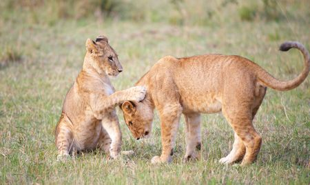 Lion (panthera leo) cubs playing in savannah in South Africa  photo