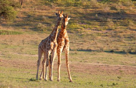 Two giraffe (Giraffa camelopardalis) in nature reserve in South Africa photo