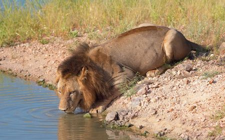 Single male lion (panthera leo) drinking water from a pool in savannah in South Africa  photo