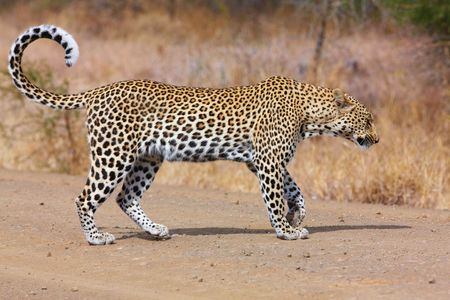 Leopard (Panthera pardus) walking on the road in nature reserve in South Africa photo