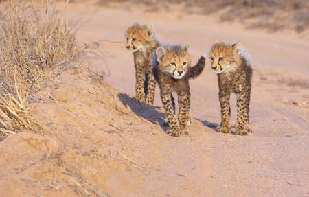 Cheetah (Acinonyx jubatus) cubs walking on the dirt road in savannah in South Africa  photo