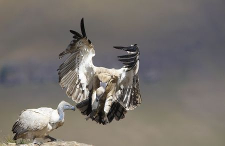accipitridae: The Cape Griffon or Cape Vulture (Gyps coprotheres) landing onto the rock in South Africa. It is an Old World vulture in the Accipitridae family