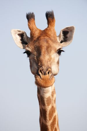 Single giraffe (Giraffa camelopardalis) in nature reserve in South Africa Stock Photo - 6726137
