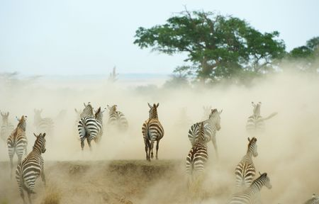 Herd of zebras (African Equids) running in the dust in nature reserve in South Africa photo