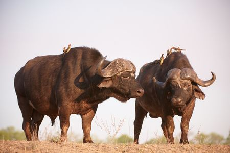 oxpecker: Two Buffalos (Syncerus caffer) close-up with Red-billed Oxpeckers (Buphagus erythrorhynchus) in the wild in South Africa Stock Photo