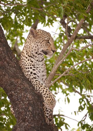 Alert Leopard (Panthera pardus) lying on the tree in nature reserve in South Africa photo