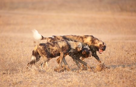 lycaon pictus: African Wild Dogs (Lycaon pictus), highly endangered species of Africa , playing in savannah