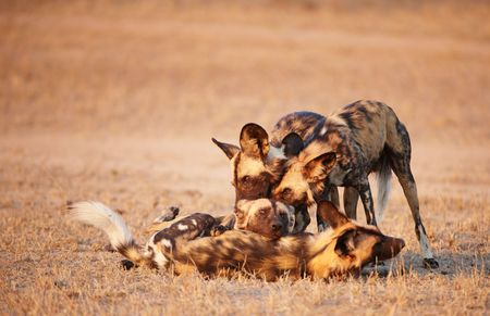 lycaon pictus: Group of African Wild Dogs (Lycaon pictus), highly endangered species of Africa, playing in savannah