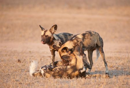 lycaon pictus: Four African Wild Dogs (Lycaon pictus), highly endangered species of Africa, playing in savannah Stock Photo