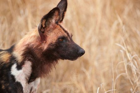 lycaon pictus: African Wild Dog (Lycaon pictus), highly endangered species of Africa