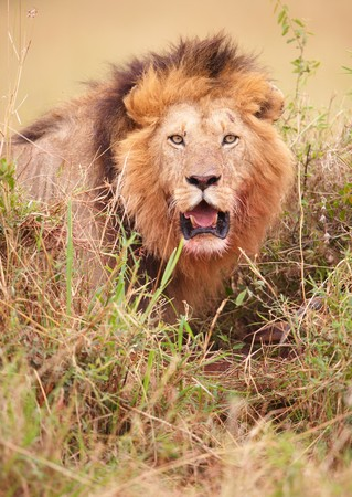 Lion (panthera leo) about to strike in savannah in South Africa  photo