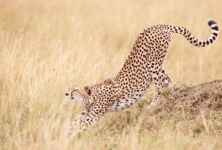 cat stretching: Cheetah (Acinonyx jubatus) stretching in savannah in South Africa  Stock Photo