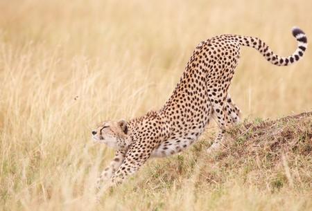 guepardo: Guepardo (Acinonyx jubatus), que se extiende en sabana en Sud�frica  Foto de archivo