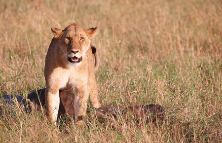 buck teeth: Single female lioness (panthera leo) with the kill in savannah in South Africa