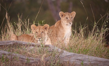 Two Lion (panthera leo) cubs sitting in savannah at night in South Africa   photo