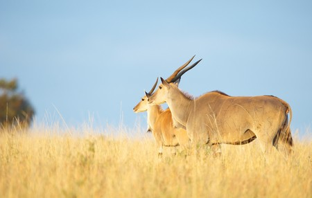 oryx: Two Eland (Taurotragus oryx), worlds largest antelope, standing in savannah in the nature reserve in South Africa Stock Photo