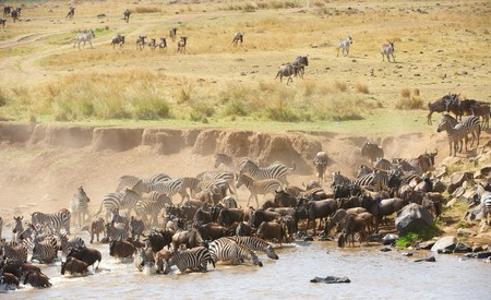 taurinus: Herd of zebras (African Equids) and Blue Wildebeest (Connochaetes taurinus) crossing the river in nature reserve in South Africa Stock Photo