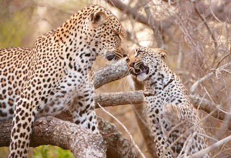 Baby cub Leopard (Panthera pardus) playing with his mother on the tree in nature reserve in South Africa photo