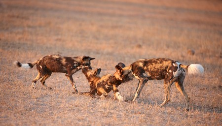lycaon pictus: Three African Wild Dogs (Lycaon pictus), highly endangered species of Africa , playing in savannah in late afternoon sun
