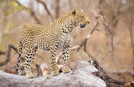 big five: Leopard (Panthera pardus) standing alert on the tree in nature reserve in South Africa
