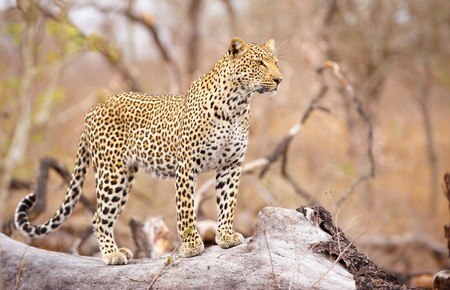 panthera pardus: Leopard (Panthera pardus) standing alert on the tree in nature reserve in South Africa