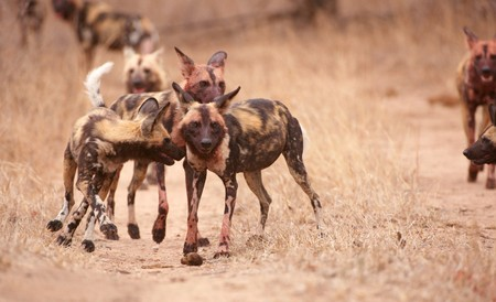 lycaon pictus: Pack of African Wild Dog (Lycaon pictus), highly endangered species of Africa  Stock Photo