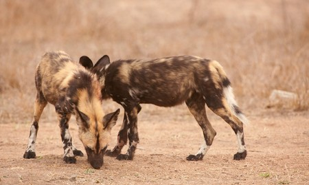 lycaon pictus: Couple of African Wild Dogs (Lycaon pictus), highly endangered species of Africa