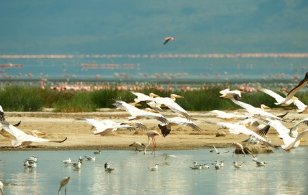 Eastern White Pelican (Pelecanus onocrotalus) or Great White Pelican with Grey-headed Gulls (Chroicocephalus cirrocephalus) and Lesser Flamingoes around the water pools in South Africa photo