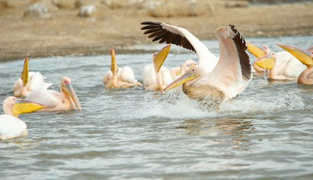 Eastern White Pelican (Pelecanus onocrotalus) or Great White Pelican in the water pools in South Africa photo